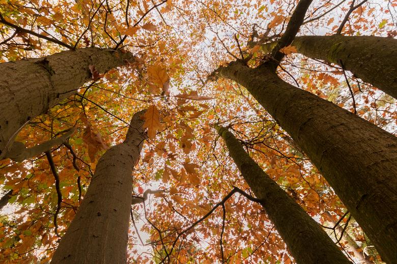 Hoge bomen. - Kijk eens omhoog in het bos. Zo mooi 50 tinten oranje.