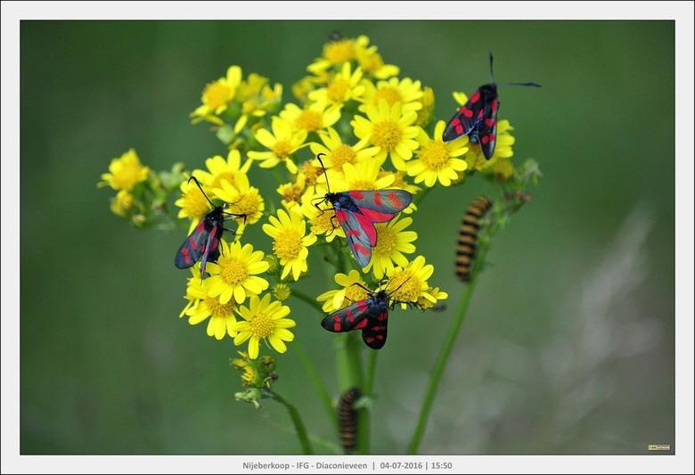 Meerdere generaties.... Vlinders en Rupsen  - Sint-jansvlinder  (Zygaena filipendulae) met rupsen op het St. Jacobs kruid in het Diaconieveen van It F