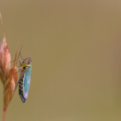 Groene cicade aan de top...