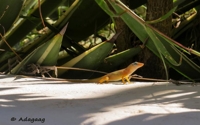 Oranje hagedisje - Na een paar weken afwezigheid terug in Nederland. Op St.Maarten veel natuurfoto's gemaakt ......