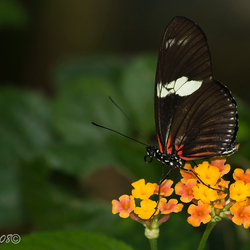 Vlinders in Artis 3