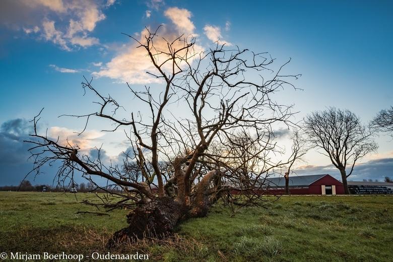 Mijn boom - Bij  ons in het dorp stond een prachtige boom<br /> Ik reed er langs al vele jaren<br /> Misschien is het raar<br /> Maar die boom was