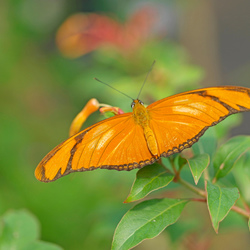 oranjevlinder
