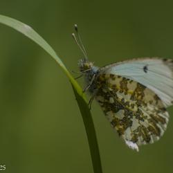Oranjetip vlinder vrouwtje