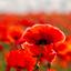 Klaprozen ingezaaide velden - 100 jaar oorlog