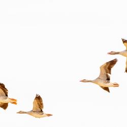 Grauwe ganzen in vlucht