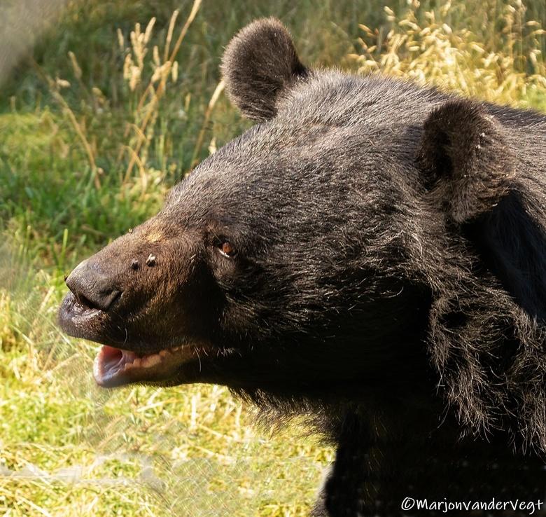 Kraagbeer - vol praatjes was deze beer.<br /> <br /> Hartelijk dank voor alle waardering voor mijn werk.<br /> <br /> lieve groeten, Marjon