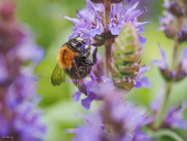 Bumblebee in Salvia nemorosa - De hommels, bijen & andere insecten zijn dol op de kruidachtige plant bossalie 'Salvia nemorosa' die in o