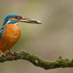 Wachten op de komst van mevrouw Kingfisher