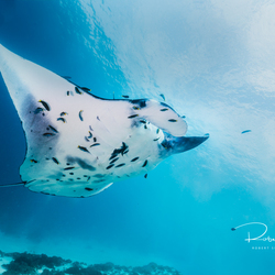 Manta Rog in Komodo National Park