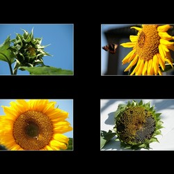 Zonnebloem collage.jpg