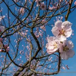 Vroege lente: Amandelbloesem