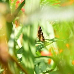 Vlinder Madeira