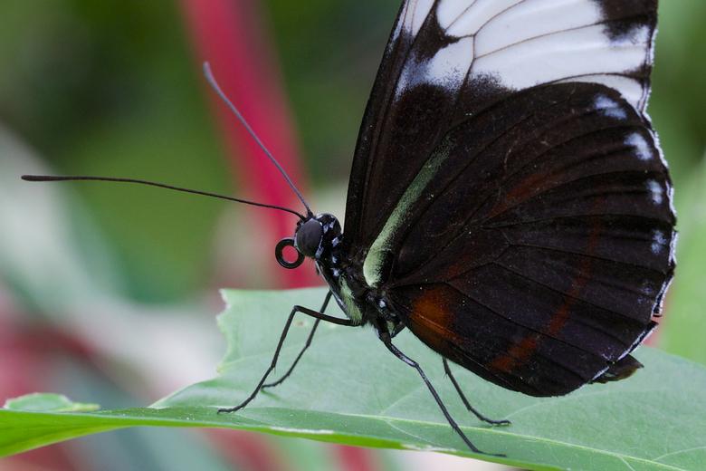 Close up - Uitsnede van vlinder in Amazonica in Blijdorp, gisteren tijdens een regenachtige dag. Dan is een binnenlocatie toch wel erg prettig.<br />