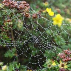 spinnenweb met douw