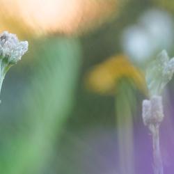 Bergresedawitje (Pontia callidice) Peak white