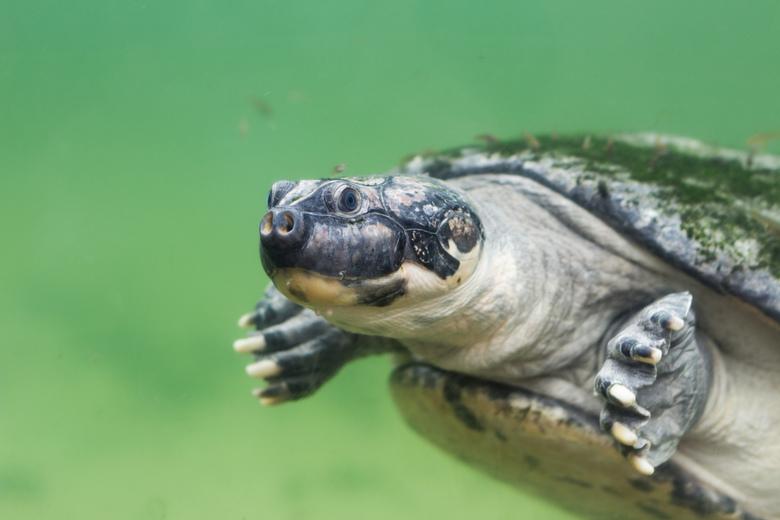 Schildpad die voorbij zwemt