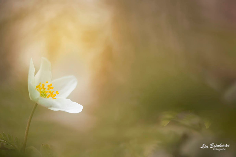 fairytale - Fairytale, Er was eens een anemoontje helemaal alleen in een sprookjesbos.....   <br /> <br /> <br /> Bedankt voor jullie reacties op m