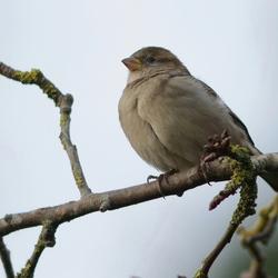 Mus-Sparrow (Passeridae)