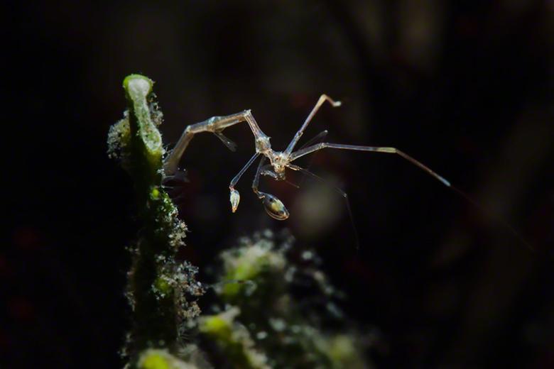SKeleton Shrimp - Omdat de Skelet Garnaal ( 15mm) zo klein is, zijn deze moeilijk te vinden onderwater. Aangezien er ook meestal stroming is maakt dez