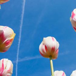 Tulpen tegen de blauwe lucht