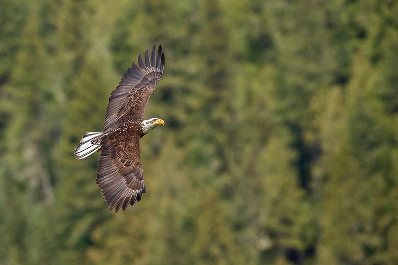 Bald Eagle - Deze bijna volwassen bald eagle was samen met een andere aan het jagen boven een meer bij Blueriver waar ik in een bootje werd rond gevar