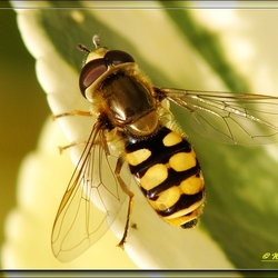bessenzweefvlieg (syrphus ribesii)