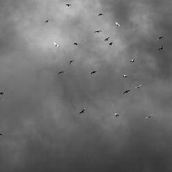 Een zwerm vogels in Zwart/Wit