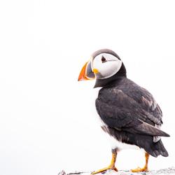Papegaaiduiker op Farne Islands