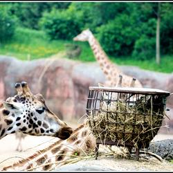 Giraffe at GaiaZOO Kerkrade