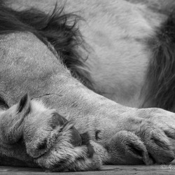 Detail van een leeuw