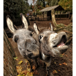 Mr & Miss Donkey