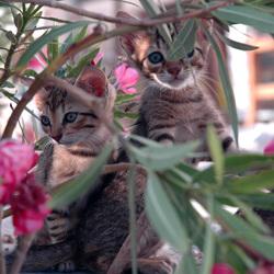 Katten en oleanders op Paros (Griekenland)
