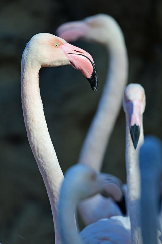 ook in Afrika - Voor de Phoenicopterus roseus zijn drie populaire namen in gebruik. Gewone flamingo, roze flamingo en Europese flamingo. Die laatste n