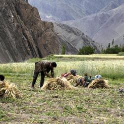 Tarwe-oogst ( Himalaya ).