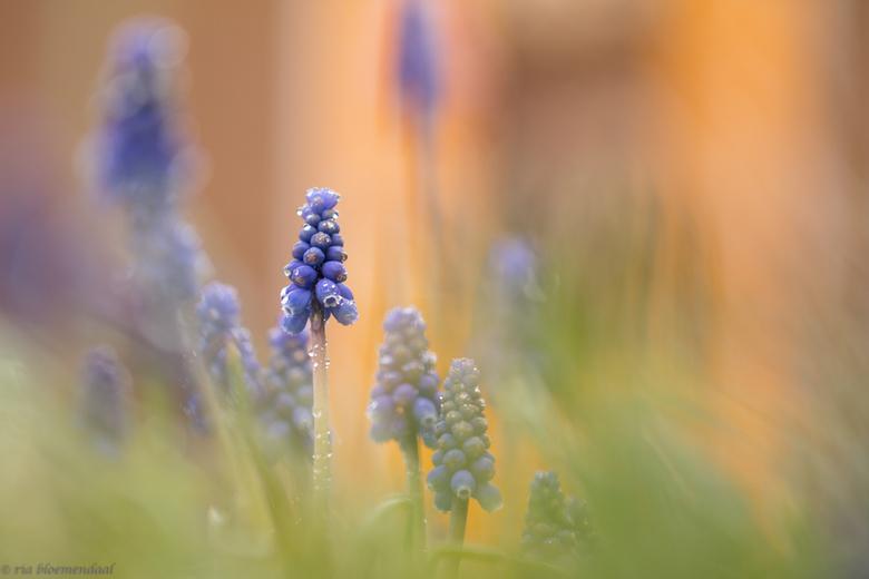 blauwe druifjes in mijn tuin