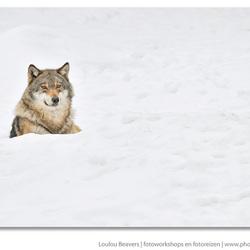 Wolf in white