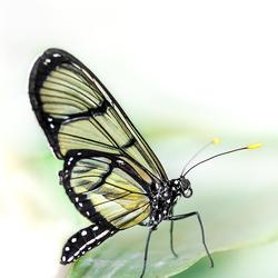 Glasvleugelvlinder - Thyridia psidii