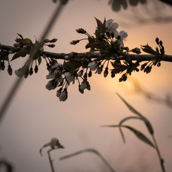 Bloesemtak in ondergaande zon