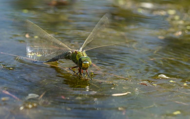 ei afzetting - Voor de broodnodige variatie maar weer eens een zomerse macro: en libel dame zet haar eieren af vlak onder het wateroppervlak waarbij d