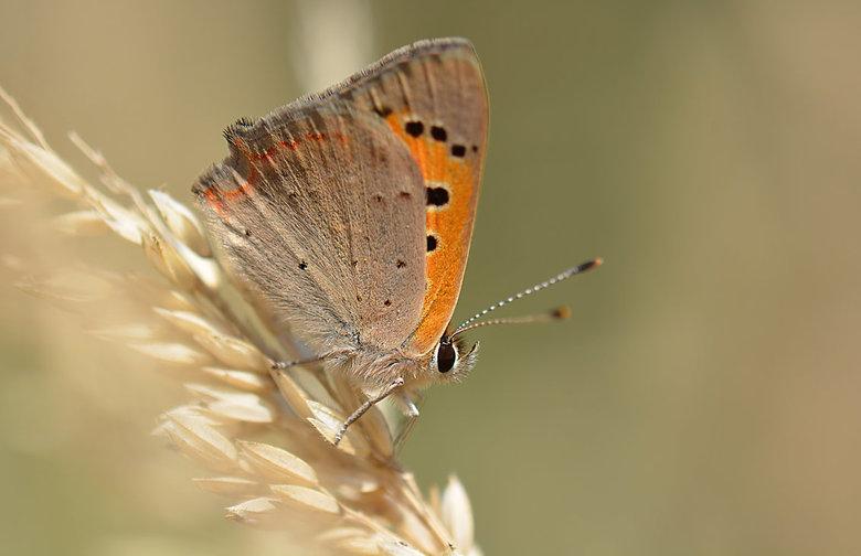 Kleine Vuurvlinder. - Een algemene standvlinder die verspreid over het hele land voorkomt; meestal niet in grote aantallen.<br /> Habitat.<br /> Vri