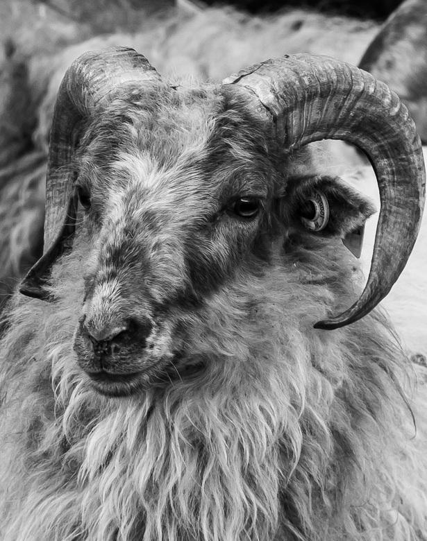 Authority - Bekijk in het groot! <br /> <br /> Ik ben fan van de ram, het is een prachtig dier met een sterke markante kop.