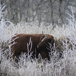 De verlegen koe