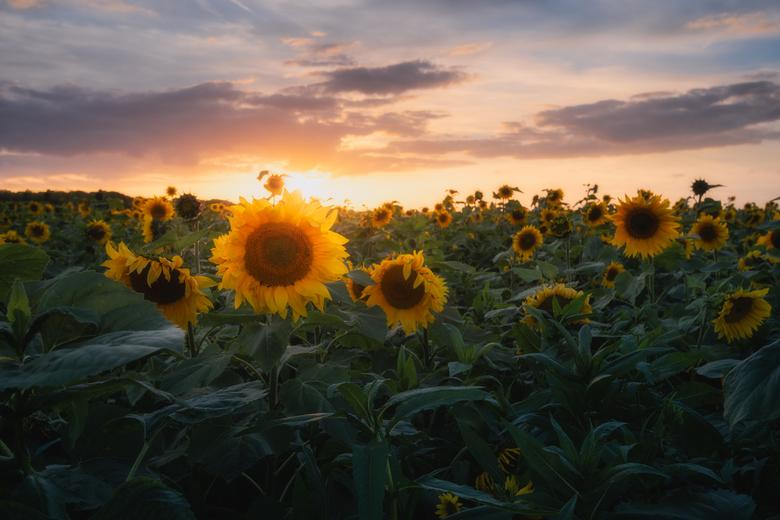 Sunflower Sunset -