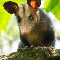 Eenogige opossum
