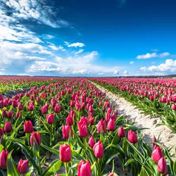 De pracht van rode tulpen