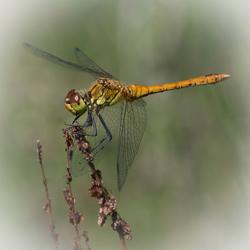 Libelletijd