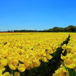 gele tulpenveld