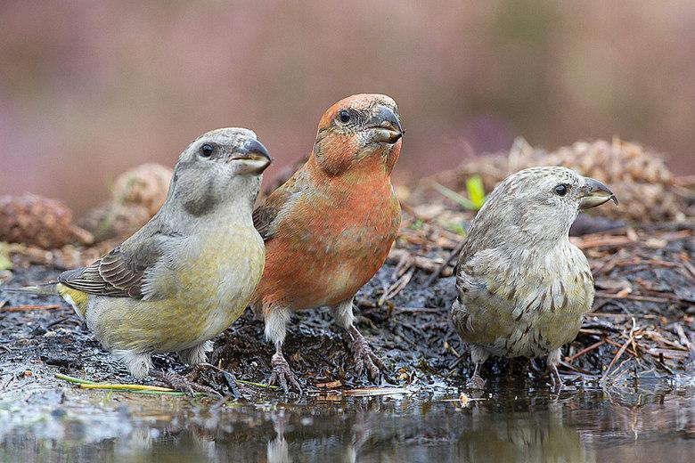 Three colors! - Hier een gezinnetje Kruisbek, allemaal verschillend van kleur. Wat zijn het toch een prachtvogels.<br /> <br /> Ik wens iedereen een