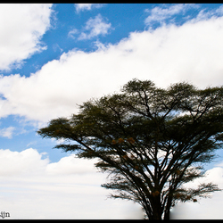 acacia boom